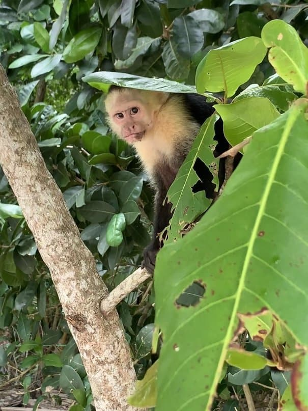 Capuchin Monkey in tree at Manuel Antonio National Park