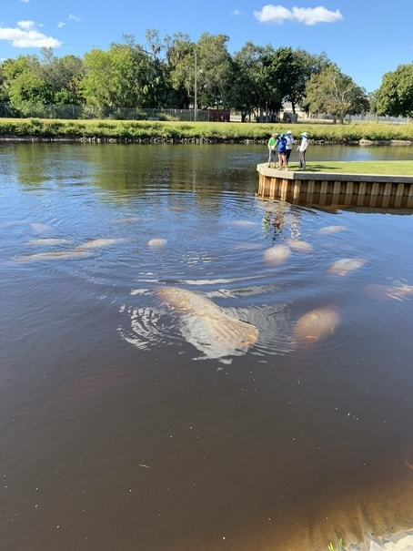 Manatee swimming in Fort Myers